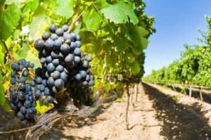 Growing Grapes in Walla Walla Photo