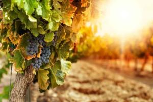 Wine Grapes Walla Walla Photo